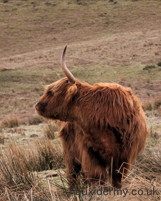 highland cattle,fauxidermy,black mountains,brecon beacons,fauxidermy,taxidermy,wakes